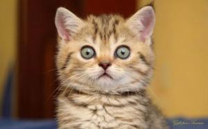 staring kitty